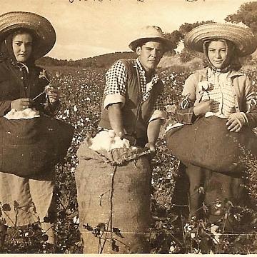 Cosecha de algodón en Alarza